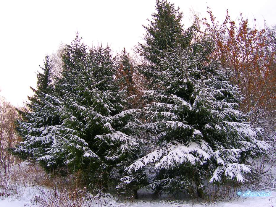 Landscape, Winter, Trees, Fir-trees