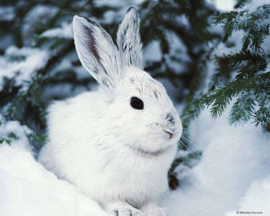 Animals, Winter, Rabbits