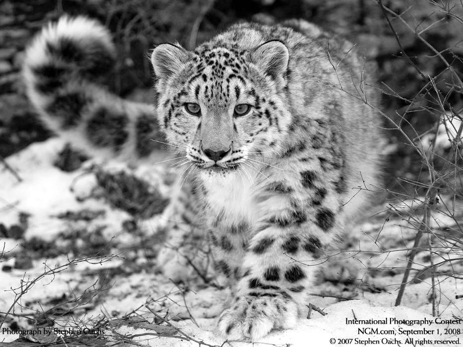 Scaricare Immagine Per Cellulare Gratis Animals Snow Leopard