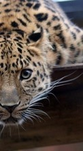 Leopards,Animals