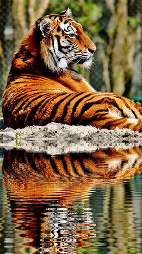 Tigers By Live Wallpaper Hd 3d Per Android Scaricare Gratis