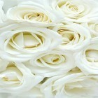 Scaricare sfondi in movimento White rose by HQ Awesome Live Wallpaper per un desktop di telefoni e tablet.