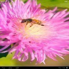 Oltre sfondi animati su Android Dinosaur by live wallpaper HongKong, scarica apk gratis Bee on a clover flower 3D.